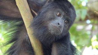 singe hurleur sur le site de Tikal au Guatemala