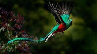 Le Quetzal, symbole du Guatemala
